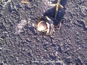 Snail, dead wm